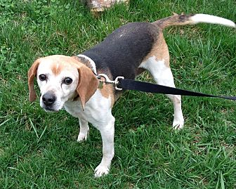 Beagle Dog for adoption in Flintstone, Maryland - Casey