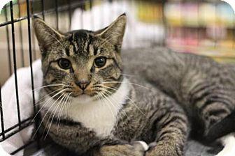 Domestic Shorthair Cat for adoption in Sacramento, California - George