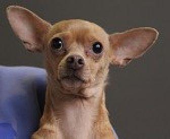 Chihuahua/Italian Greyhound Mix Dog for adoption in Georgetown, Colorado - Annie