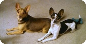 Chihuahua Mix Dog for adoption in Mesa, Arizona - Chewy & Louie