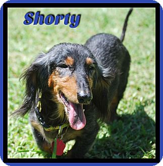 Dachshund Dog for adoption in Green Cove Springs, Florida - Shorty