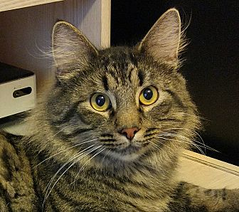 Domestic Longhair Cat for adoption in Columbia, Maryland - Majestic