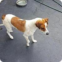 Adopt A Pet :: Violet - ST LOUIS, MO