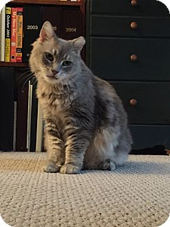 Domestic Mediumhair Cat for adoption in Cincinnati, Ohio - Bumble (Courtesy posting)