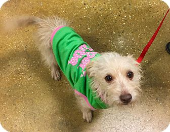 Terrier (Unknown Type, Small) Mix Dog for adoption in Smithtown, New York - Sandy