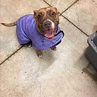 Adopt A Pet :: Bryndle - Mead, WA