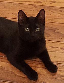 Domestic Shorthair Cat for adoption in Lago Vista, Texas - Taffy
