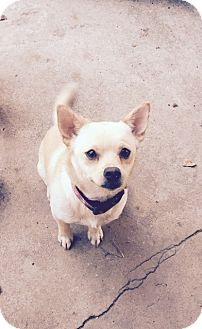 Spitz (Unknown Type, Small) Mix Dog for adoption in FORT WORTH, Texas - Harper