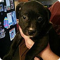 Pit Bull Terrier Mix Dog for adoption in Chantilly, Virginia - Hope's Pup Lacey