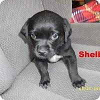 Adopt A Pet :: Shelby - Silverdale, WA