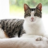 Domestic Shorthair Cat for adoption in Harrison, New York - Charlie