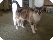 Domestic Shorthair Cat for adoption in Modesto, California - Baby Cat