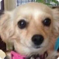Adopt A Pet :: Brittany - Canoga Park, CA