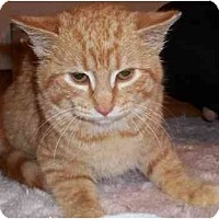 Adopt A Pet :: Triscuit - Acme, PA
