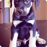 Adopt A Pet :: Mooney - Gilbert, AZ