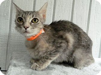Domestic Shorthair Cat for adoption in The Colony, Texas - Mushroom