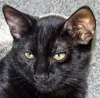 Domestic Shorthair Cat for adoption in Mt. Vernon, New York - Saddle