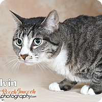 Adopt A Pet :: Calvin - Broadway, NJ