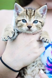 Domestic Mediumhair Kitten for adoption in Raleigh, North Carolina - Mattie
