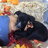 Border Collie/American Staffordshire Terrier Mix Puppy for adoption in Tracy, California - Millie