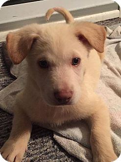 Siberian Husky Mix Puppy for adoption in Shingleton, Michigan - Blue