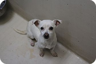 Chihuahua Mix Puppy for adoption in Odessa, Texas - A36 Aiden