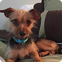Adopt A Pet :: Yadier - New Oxford, PA