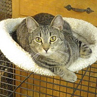 Domestic Shorthair Cat for adoption in Quail Valley, California - Degas