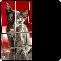 Adopt A Pet :: Michaelangelo - Fallbrook, CA