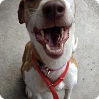 Adopt A Pet :: Sara - Garland, TX