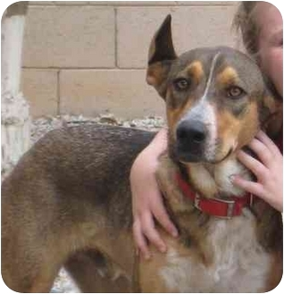 Shepherd (Unknown Type)/Australian Cattle Dog Mix Dog for adoption in Chandler, Arizona - Meadow