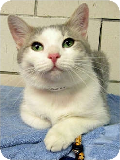 Domestic Shorthair Cat for adoption in Centerburg, Ohio - Candy