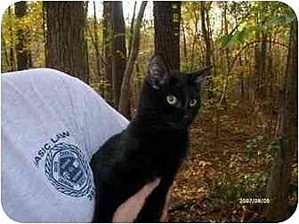 Domestic Shorthair Cat for adoption in Winnsboro, South Carolina - Brody