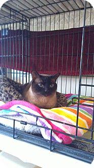 Siamese Cat for adoption in lake elsinore, California - Paige