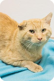 Domestic Shorthair Cat for adoption in Chicago, Illinois - Fred