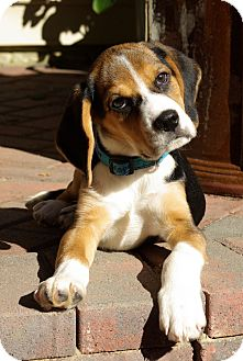 Beagle Puppy for adoption in Portland, Oregon - Charmin