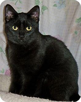 Domestic Shorthair Cat for adoption in Rochester, New York - Black Velvet