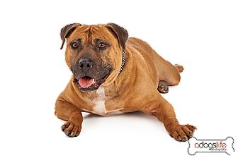 Pit Bull Terrier/Staffordshire Bull Terrier Mix Dog for adoption in Phoenix, Arizona - Spirit- good with cats