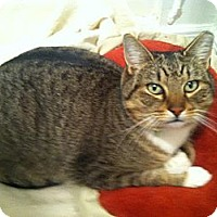 Domestic Shorthair Cat for adoption in Brooklyn, New York - Rocky