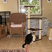 Domestic Shorthair Cat for adoption in Virginia Beach, Virginia - Paco