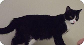 Domestic Shorthair Cat for adoption in Cheboygan, Michigan - 20518