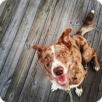 Australian Shepherd/Australian Cattle Dog Mix Dog for adoption in Minneapolis, Minnesota - Skipper