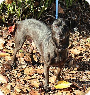 Chihuahua Mix Dog for adoption in Yuba City, California - Scotty