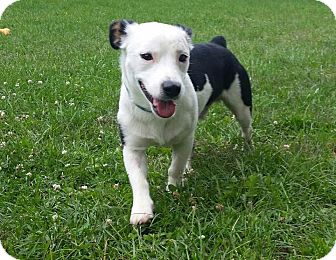 Terrier (Unknown Type, Medium)/Corgi Mix Dog for adoption in Wethersfield, Connecticut - Moody