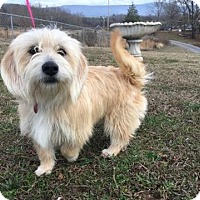 Adopt A Pet :: Blondie - Hagerstown, MD
