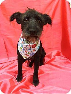 Terrier (Unknown Type, Medium)/Schnauzer (Standard) Mix Dog for adoption in pasadena, California - CHLOE