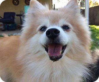 Pomeranian Dog for adoption in Dallas, Texas - Buttercup