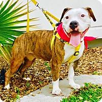 Adopt A Pet :: Dolcé - West Palm Beach, FL