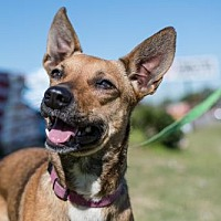 Adopt A Pet :: Shyla - Northport, AL