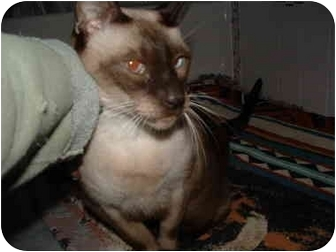 Siamese Cat for adoption in Howell, New Jersey - Ty and Tau
